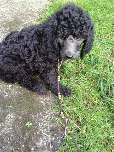silver standard poodle puppies for sale silver standard poodle puppies ormskirk lancashire pets4homes