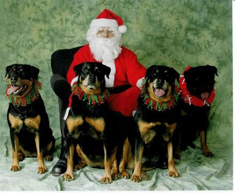 rottweiler direct rottweiler photos pictures rottweilers page 17 breeds picture