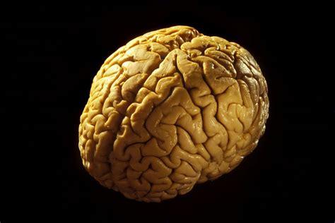 for the brain anatomy of the brain cerebrum