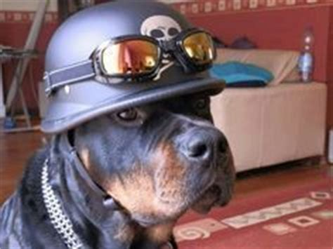 rottweiler motorcycle 1000 images about harley davidson pets on pets harley davidson