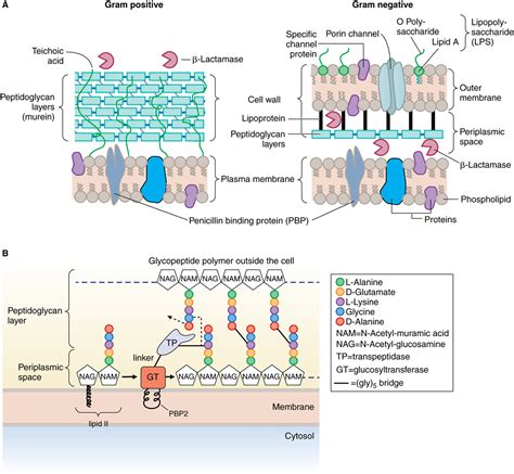 bacterial cell membranes negatively charged