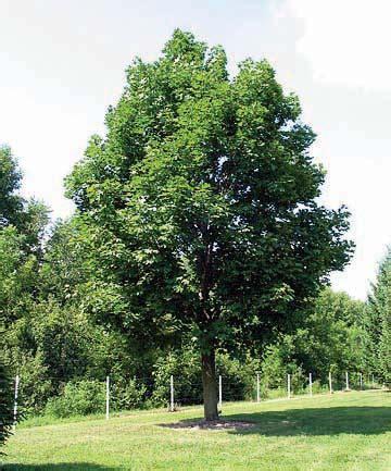 louisiana maple trees l 233 rable de norv 232 ge un envahisseur 224 bannir jardinier