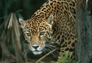 Jaguar Cat America In Search Of The Jaguar