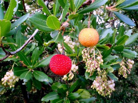 coltivare fiori la coltivazione corbezzolo fiori e frutti insieme