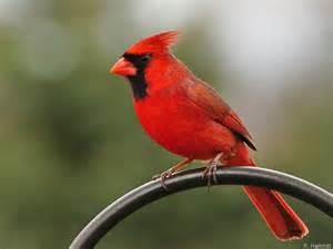 virginia cardinal us state birds and flowers