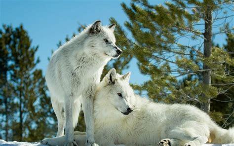 wolves theme  windows
