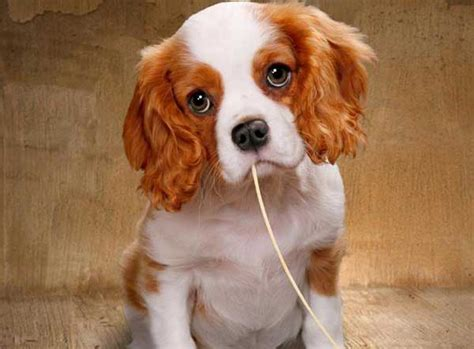 can dogs eat pasta can dogs eat pasta spaghetti noodles is it or bad for them alldogsworld