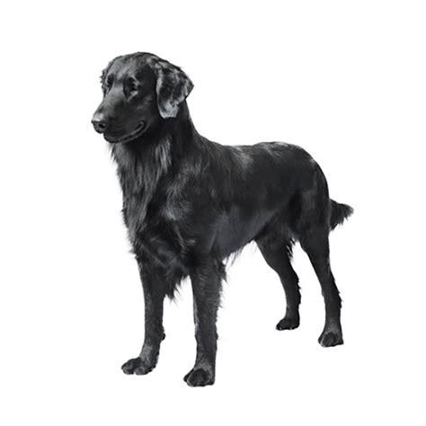 purina pro plan puppy golden retriever labrador retriever purina 174