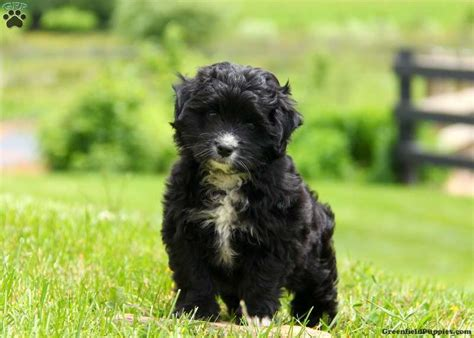 aussiedoodle puppies for sale pa aussiedoodle miniature puppies for sale in pa breeds picture