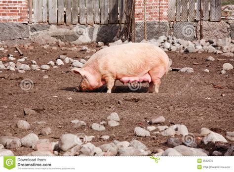 backyard pig pig standing on the backyard royalty free stock photo