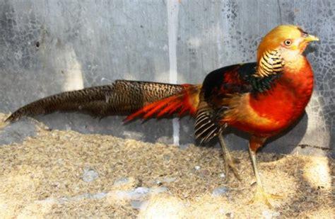 Ayam Hias Pekin kicau suara burung golden pheasant aka ayam hutan cina