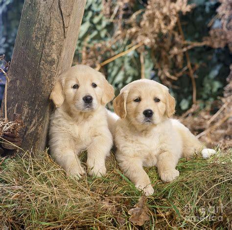 medium golden retriever golden retriever puppies in the woods photograph by