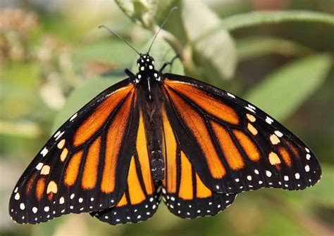 butterflies images vineyard habitats assist with butterfly comeback