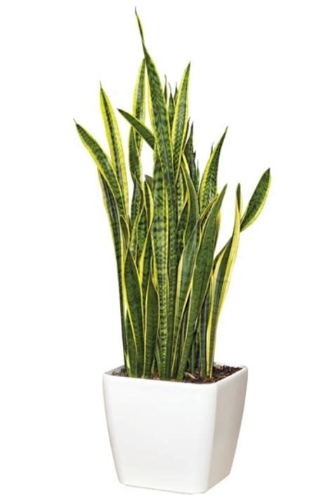 in s tongue plant in tongue or snake plant colonial house of flowers official florist of