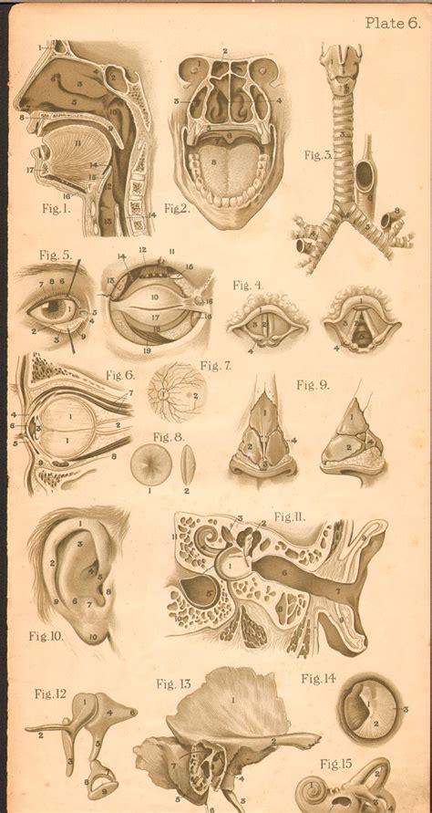 vintage illustration vintage medical anatomy illustration science anatomy