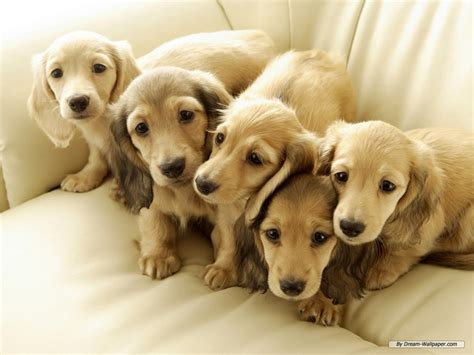 miniature puppies mini daschund puppy breeds picture
