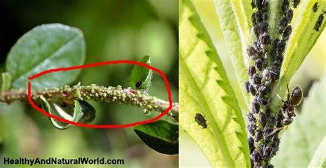 rid  aphids  natural ways   work