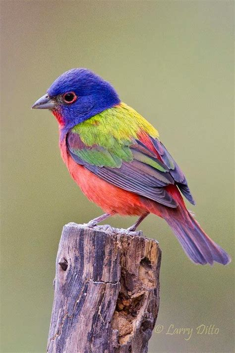 17 best images about painted bunting bird painting ideas