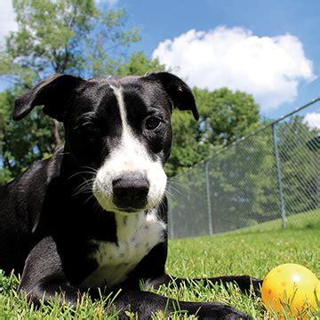 berkshire humane society dogs adopt berkshire humane society