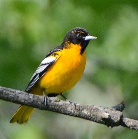bird hybrids bullock s oriole x baltimore oriole