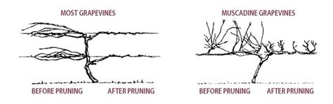 when to cut back a grapevine pruning grape vines stark bro s