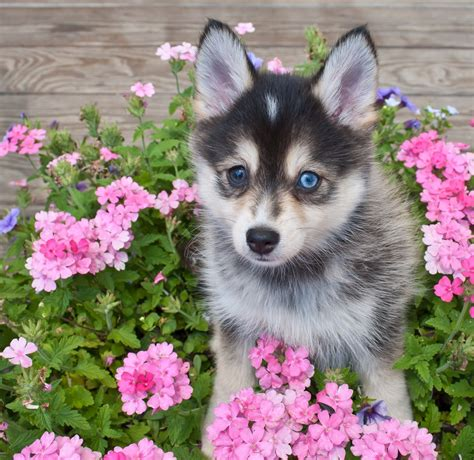 husky mixed with pomeranian cost pomeranian husky shop for your cause