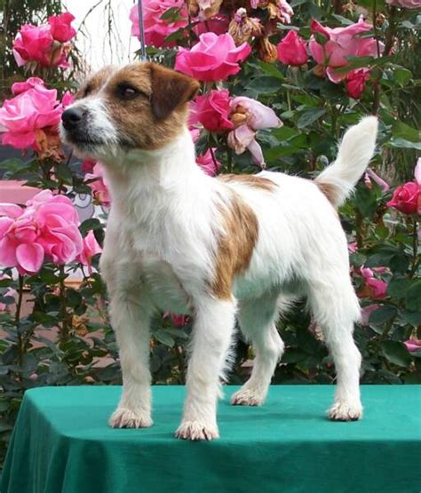 imagenes jack russell terrier fotos jack russell terrier wikipets