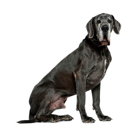 100 great danes 3832732802 dog breeds 100 pics answers