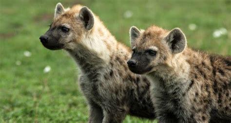 kurtlar belgesel izle hayvanlar alemi aslan belgeseli izle 2015 214 l 252 mc 252 l katiller gece avcıları belgeseli belgesel izle