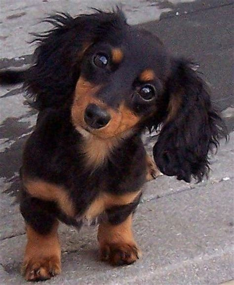 dachshund colors community post why dachshund puppies should be your new
