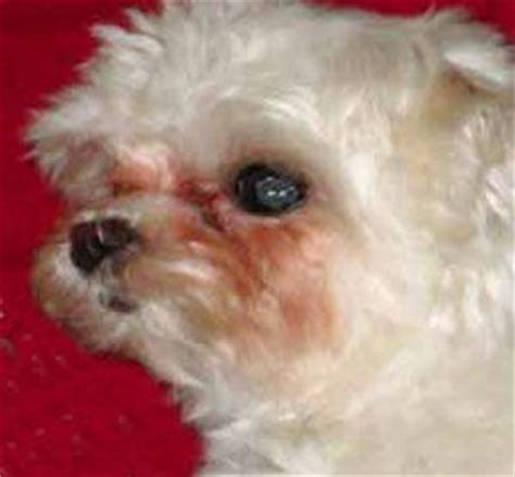 home remedies for tear stains fur babies gotta haves