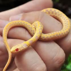Garden Snake Care Cb Checkered Garter Snake Thamnophis Marcianus