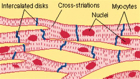 striated cell diagram choice quiz on muscular tissues biology