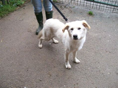 staffy cross golden retriever cinders 226 6 8 month golden retriever cross german shepherd for