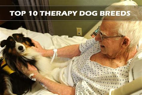 best dogs for therapy top 10 best therapy breeds
