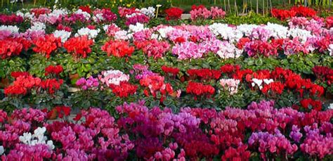 pianta fiorita tutto l anno piante fiorite tutto lanno idee per il design della casa