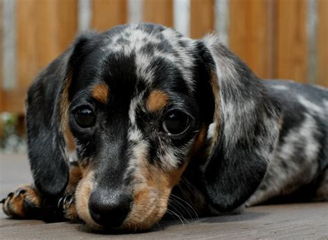 blue dachshund puppies cutest coloured dachshund puppy poll results dachshunds fanpop