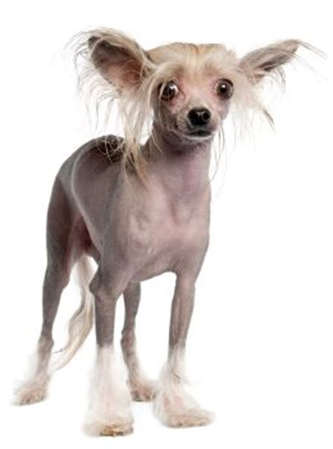 dogs with no fur breed with no hair dogs breed sierramichelsslettvet