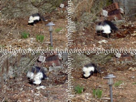 skunks    garden motion sensor