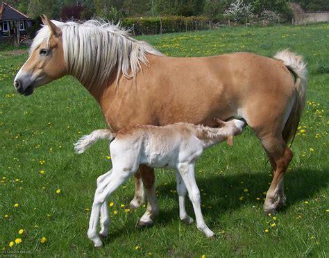 stute decken s 228 ugegiere pferd stute jungtier fohlen