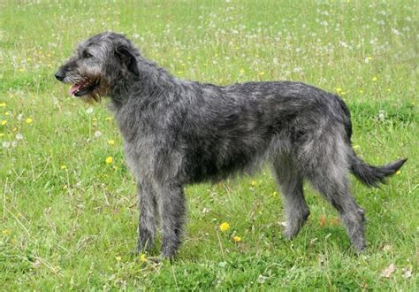 Wolfhound Shed by Wolfhound Breed Information And Facts