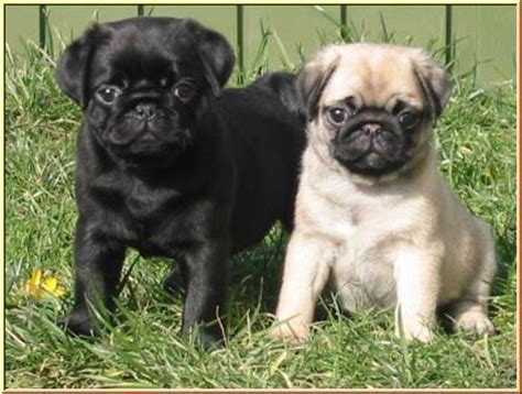 pug breeder uk pug breeders www pugs co uk