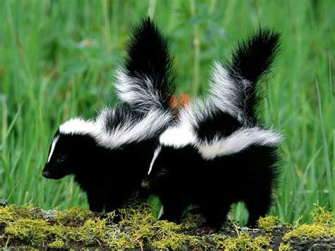 imagenes tiernas de zorrillos donde viven los zorrillos que comen como nacen