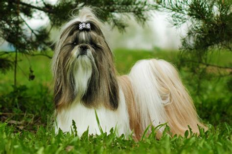 shih tzu things things you didn t about the shih tzu american kennel club