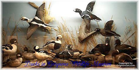 grignons taxidermy sea ducks