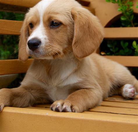 cavador puppies cavador cottage canines australia