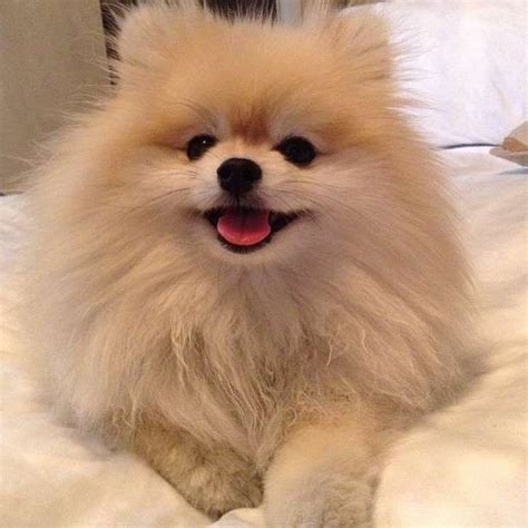 pomeranian rescue ma best 25 pomeranian chihuahua ideas on