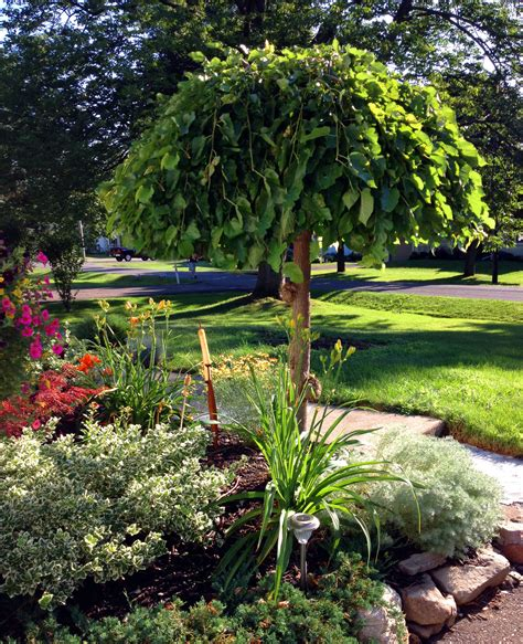 non fruiting mulberry tree the appeal of the weeping mulberry geranium