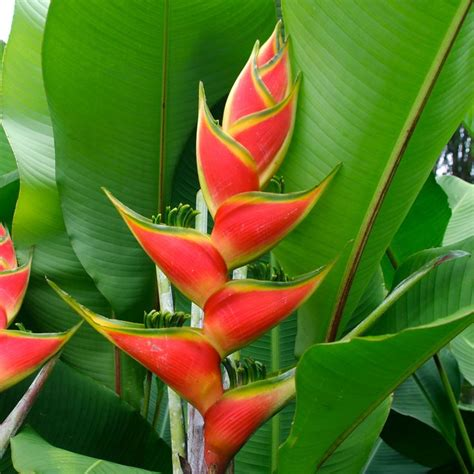 heliconia tropical flower heliconia derived from the greek word helikonios is a
