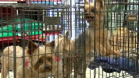 care for yorkie after spaying 200 yorkies need homes after breeder dies and you can help dogtime